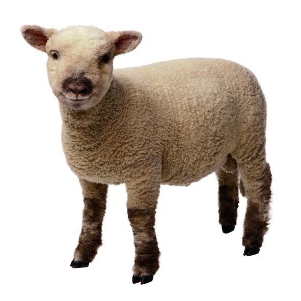 Lamb Clip Art & Lamb Clip Art Clip Art Images.