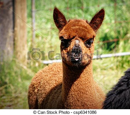 Stock Image of Brown Llama.