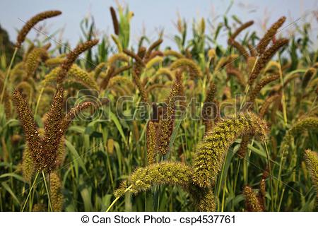 Millet Stock Photos and Images. 5,908 Millet pictures and royalty.