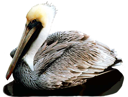 Pelican without background clipart.