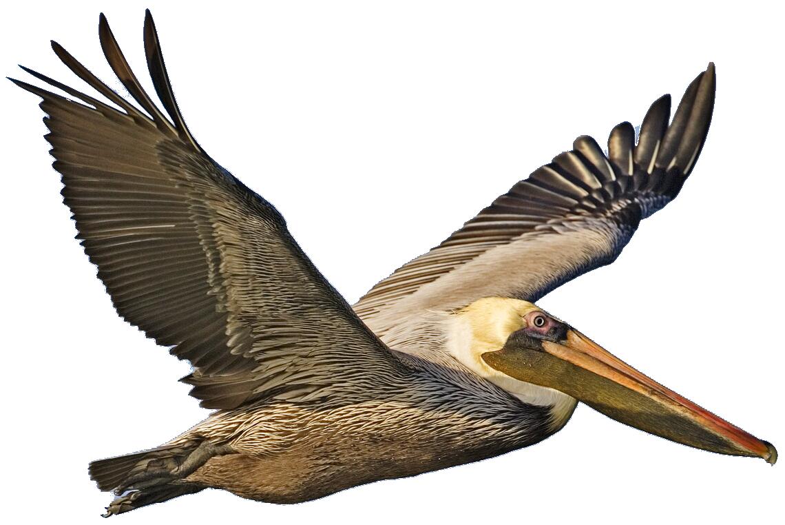 Brown Pelican Clipart.
