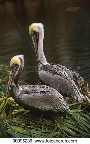 Stock Images of Juniors, Pelecanidae, Pelecanus occidentalis.