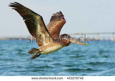 Pelican Stock Photos, Royalty.