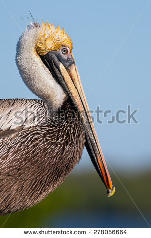 Pelecanidae Stock Photos, Images, & Pictures.