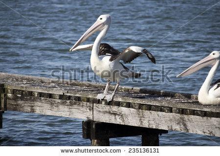 Cormorant Pelican Stock Photos, Images, & Pictures.
