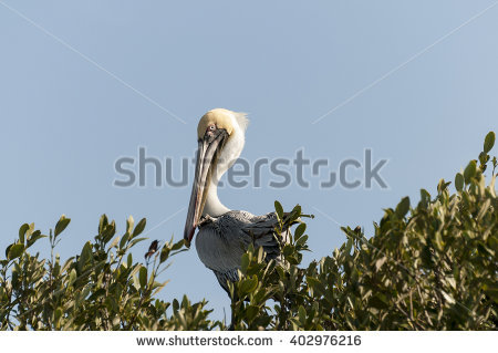 Perched Pelican Stock Photos, Royalty.