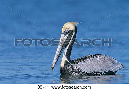 Stock Photography of Brown Pelican.