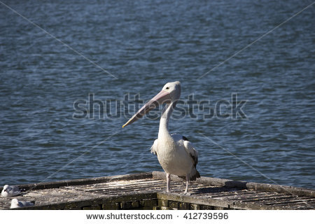 Young Louisiana Brown Pelican Perched Near Stock Photo 24381244.