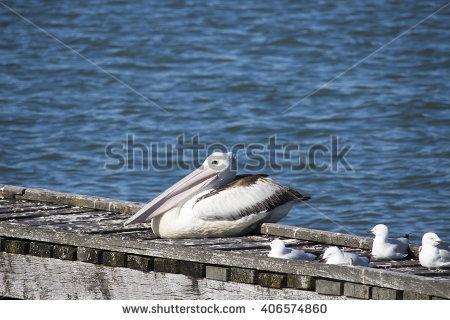 "sitting Pelican"" Stock Photos, Royalty."