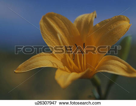 Picture of Hemerocallis middendorfii, close.