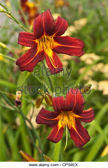 Dark Red Daylily Stock Photos & Dark Red Daylily Stock Images.