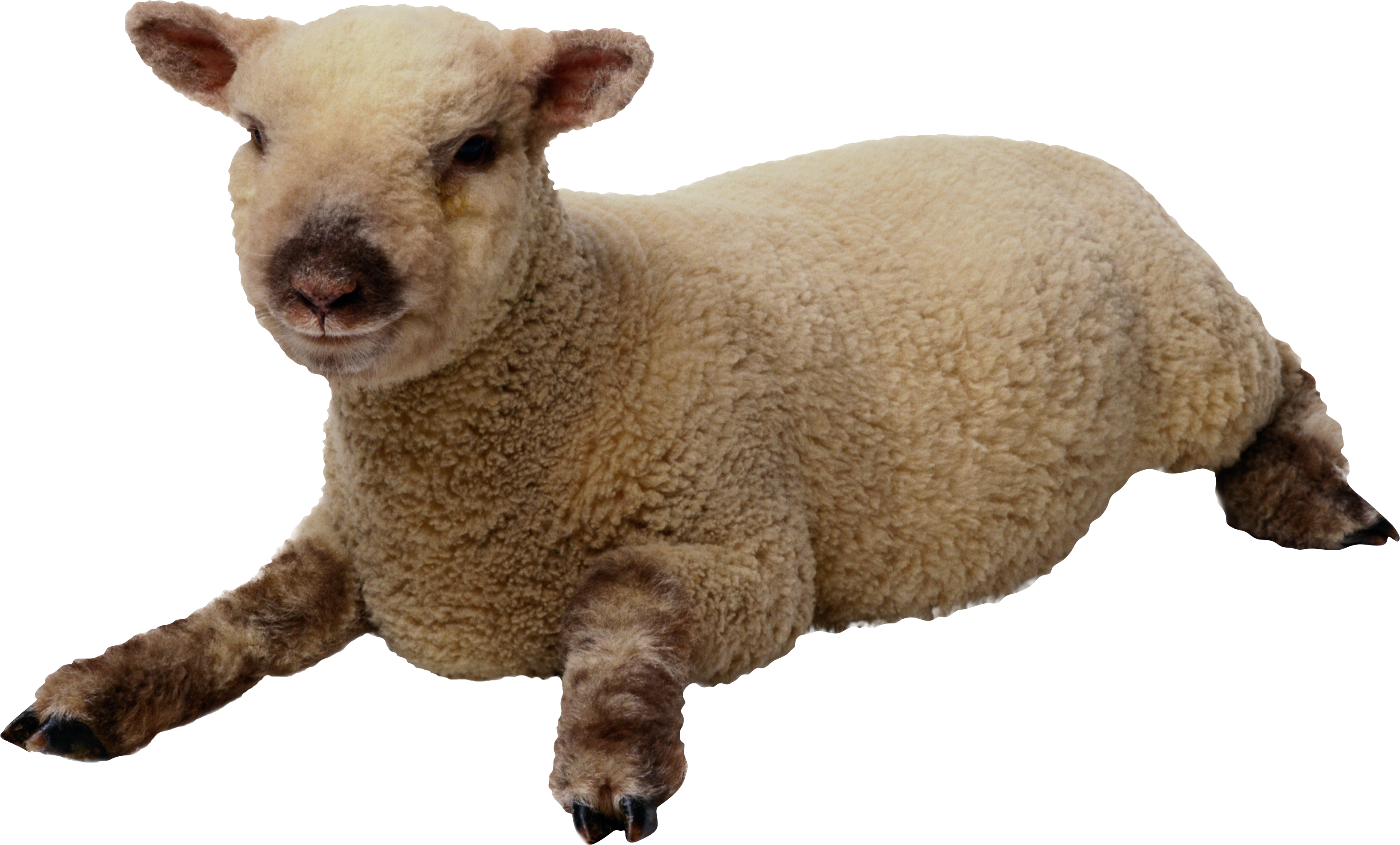 Sheep PNG image, free download.