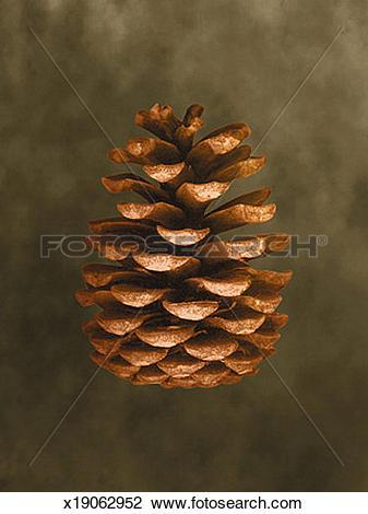 Clip Art of Pine Cone x19062952.