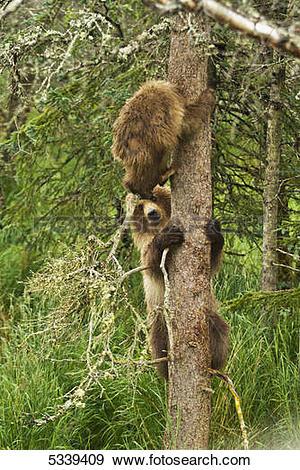 Stock Photograph of Brown bear (Ursus arctos) cubs climbing spruce.