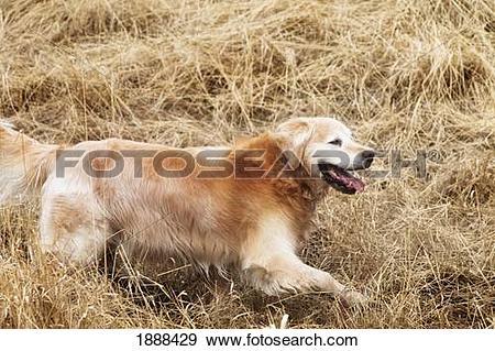 Stock Photograph of a golden retriever running through a field of.
