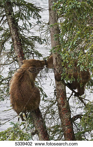 Stock Photo of Brown bear (Ursus arctos) cubs playing in spruce.