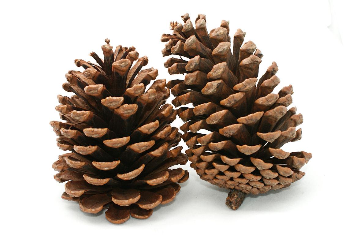 Pine Cone Clip Art & Pine Cone Clip Art Clip Art Images.