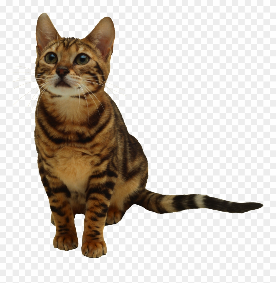 Tabby Cat Clipart Transparent Background.