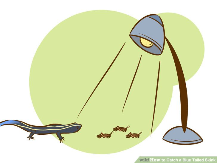 3 Ways to Catch a Blue Tailed Skink.