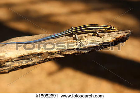 Stock Photography of blue tailed five lined Skink k15052691.