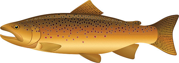Best Brown Trout Illustrations, Royalty.