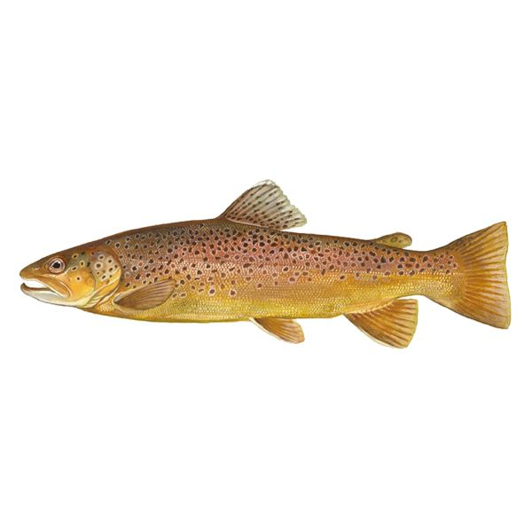 Brown Trout (free download).