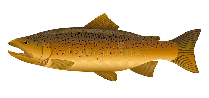Brown Trout Stock Illustrations.