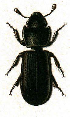 Vintage Ephemera: Colored plate, Beetles, 1852.
