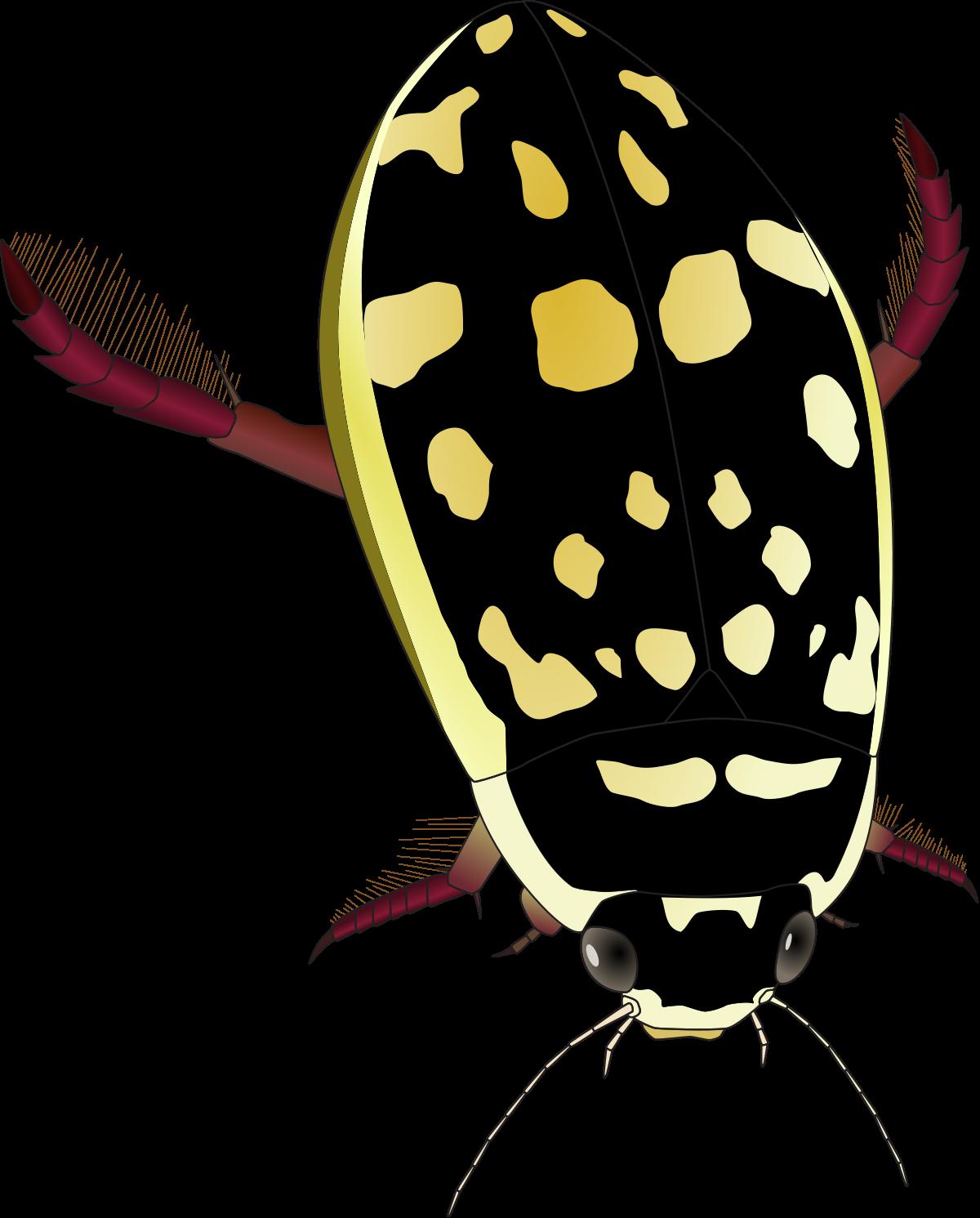 Thermonectus marmoratus.