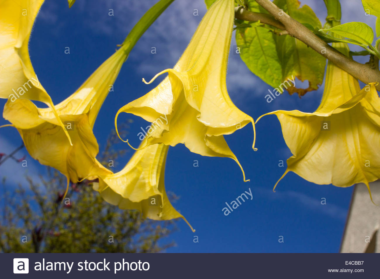 Looking Up Into The Flowers Of The Angel's Trumpet, Brugmansia.