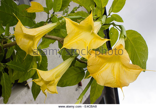 Angel's Trumpet Stock Photos & Angel's Trumpet Stock Images.