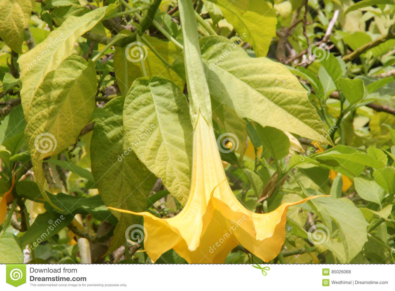 Brugmansia Aurea, Golden Angels Trumpet Stock Photo.