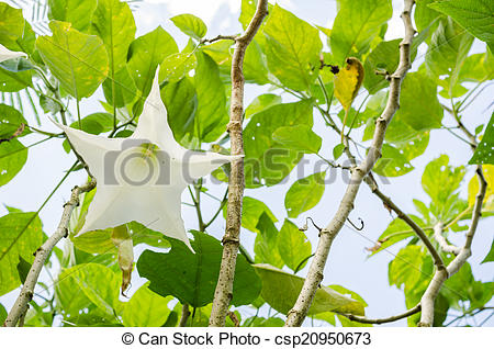 Picture of White Brugmansia flower or Angel's trumpets in the.