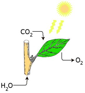 Fotosynteza.