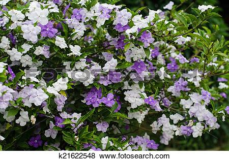 Pictures of Brunfelsia Australis (Yesterday today and tomorrow.