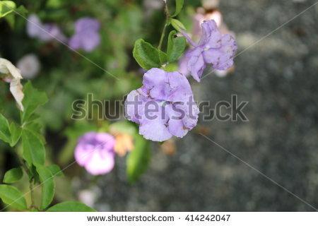 Brunfelsia Stock Photos, Royalty.