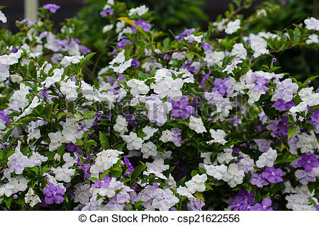 Stock Images of Brunfelsia Australis (Yesterday today and tomorrow.