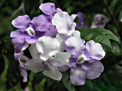 Brunfelsia Latifolia, Yesterday Today And Tomorrow, Types Of.