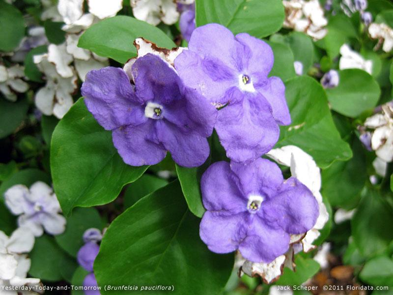 Brunfelsia_pauciflora800a.jpg.