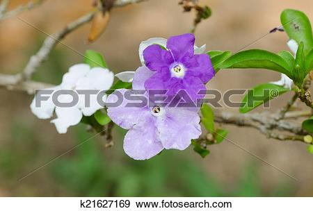 Stock Photograph of Brunfelsia Australis (Yesterday today and.