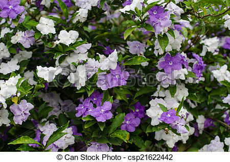 Stock Photo of Brunfelsia Australis (Yesterday today and tomorrow.