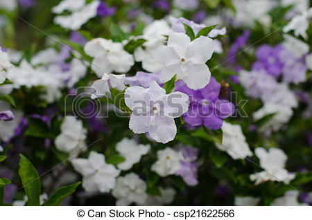 Stock Image of Brunfelsia Australis (Yesterday today and tomorrow.