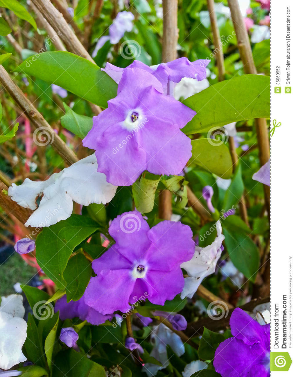 Yesterday Today And Tomorrow Flowers, Or Brunfelsia Uniflora Poh.