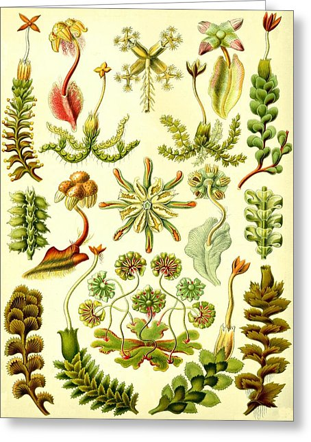 Liverworts Moss Brunnenlebermoos Haeckel Hepaticae Drawing by.