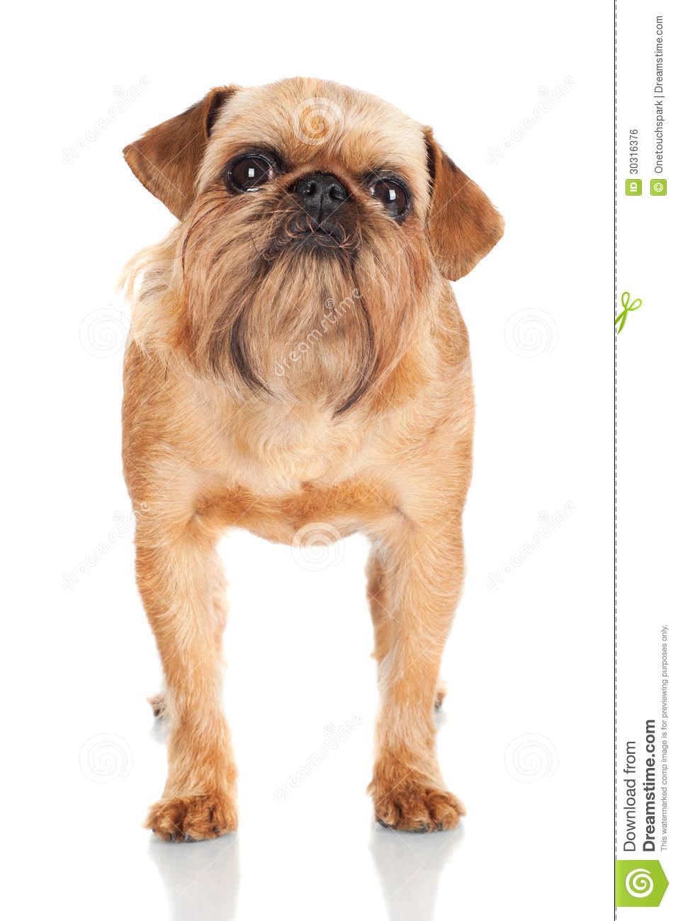 Brussels Griffon Dog Portrait Royalty Free Stock Image.