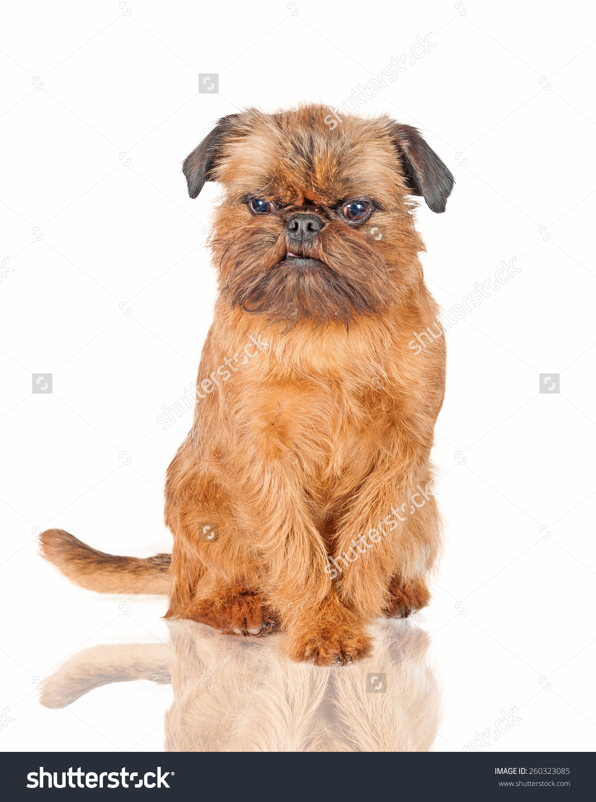 Brussels Griffon Dog Angry Face Stock Photo 260323085.