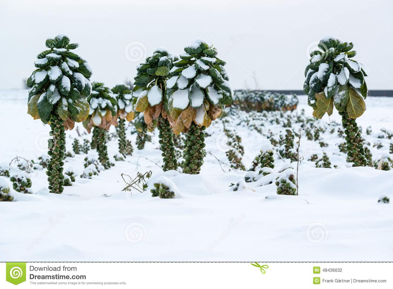 Brussels Sprouts In Snow Stock Photo.