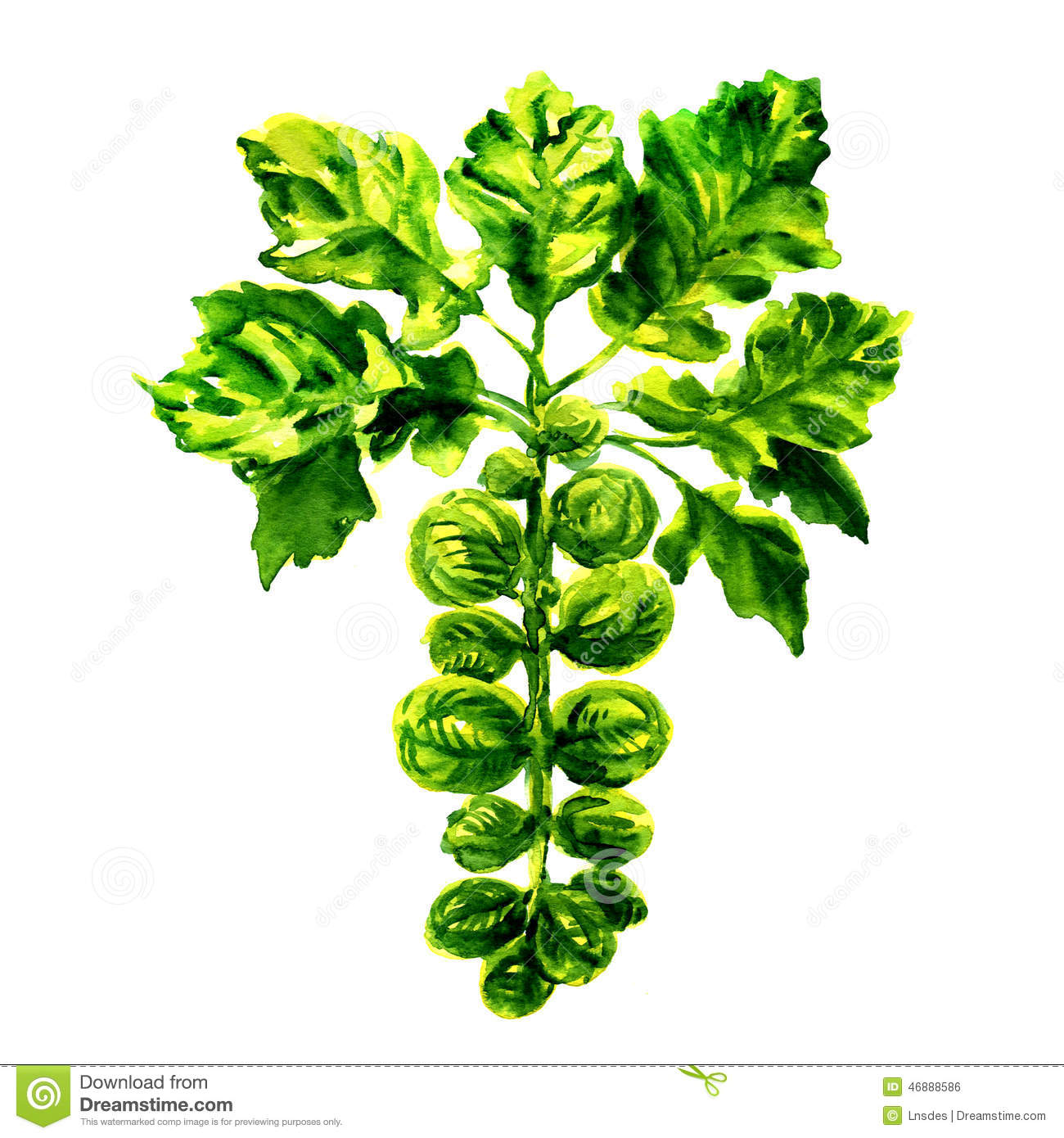 Brussel Sprouts On The Stalk Stock Photos.