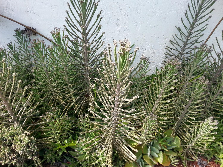 Bryophyllum Delagoense Live Succulent Plant Chandelier Plant.