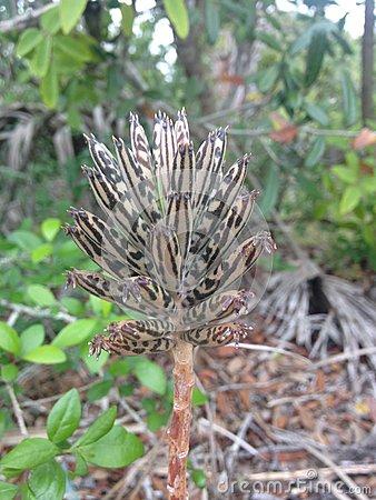 Bryophyllum Delagoense Plant Growing In Florida. Stock Photo.